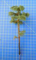 borovice 15 cm