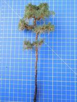 borovice 20cm